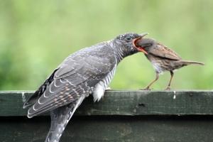 Cuckoo and Dunnock 1