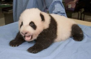 pandacub